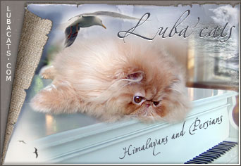 Luba'cats persian and himalayan cattery